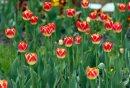 Stdup -Tulips ...