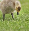 Got One-A young gosling grabs a small piece of grass in  Terracon Business park near Dugald Road in Winnipeg Monday- June 03, 2013   (JOE BRYKSA / WINNIPEG FREE PRESS)