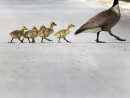 Young goslings ...