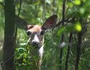 Keeping Cool- A young doe white tail deer sits quietly in the shade in Assiniboine forest Wednesday afternoon to beat the direct sunshine-Standup Photo- June 11, 2013   (JOE BRYKSA / WINNIPEG FREE PRESS)