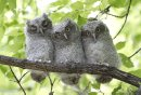 Crowded out of the old West Kildonan tree cavity where they were hatched, screech owlets sit in a row on Tuesday, June 18, 2013. According