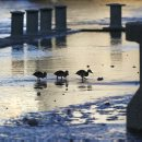 Mallard ducklings walk along the the Assiniboine Riverwalk at The Forks Tuesday morning as river levels decline. (WAYNE GLOWACKI/WINNIPEG FREE PRESS) Winnipeg Free Press June 25 2013