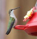 A female ruby-throated hummingbird in Gunton, Manitoba Thursday afternoon – Standup photo- August 08, 2013   (JOE BRYKSA / WINNIPEG FREE PRESS)