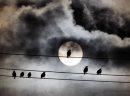 Birds Grackles ...