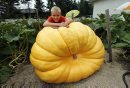 Giant Pumpkins ...