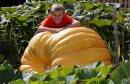 Giant Pumpkins ...
