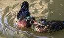 A pair of Wood Ducks in the sunshine and reflections on the Assiniboine River near The Forks on a warm fall Thursday morning. Wayne Glowacki / Winnipeg Free Press Sept. 26 2013