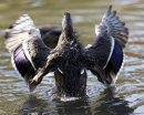 mallard duck flaps wings in duck pond - Saturday Picture Page proposal - Mallard ducks  in  pond - Fort Whyte – An autumn  walk through  a 600 acre environmental ,education and recreation centre  picture page , with lakes ,ponds , migrating  Canada Geese , ducks , song birds , wild life , boardwalks , hiking biking , canoeing , fishing , plus school programs , restaurant  KEN GIGLIOTTI / Oct. 10 2013 / WINNIPEG FREE PRESS