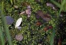 green duckweed ...