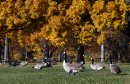Stup- Geese ...