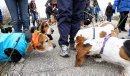 Basset Hound ...