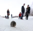 A vole on the ...