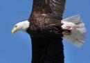 A bald eagle ...