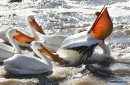 April 29, 2014 - 140429  - An American White Pelican gets some unwanted attention as he tries to enjoy his fish dinner at Lockport Tuesday, April 29, 2014. John Woods / Winnipeg Free Press