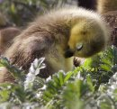 Spring Arrival-Young goslings look for protection from their mother Tuesday morning at a retention pond near Hecla Ave in Woodsworth Park – The incubation period for Canada geese is 28-30 days-Standup photo- May 27, 2014   (JOE BRYKSA / WINNIPEG FREE PRESS)