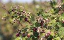 Good raspberry ...