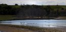 Pelicans swim ...