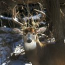 Majestic Buck- ...