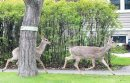 Whitetail deer ...