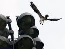 A osprey brings lunch to its young on a large stadium light on a playing field on University of Manitoba campus Monday- Standup photo- June 08, 2015   (JOE BRYKSA / WINNIPEG FREE PRESS)