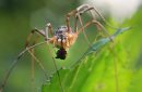 Breakfast- A spider eats its prey in the English Garden at Assiniboine Park Friday-Standup Photo- July 03, 2015   (JOE BRYKSA / WINNIPEG FREE PRESS)