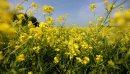 A canola crop ...