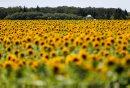Sunflowers on ...