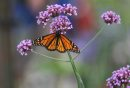 Monarch butterfly's land on flowers in the Shirley Richardson Butterfly Garden at Assiniboine Park Zoo Saturday during Butterfly Safari week. Standup photo.  Aug 14, 2015 Ruth Bonneville / Winnipeg Free Press