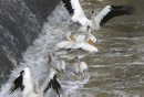 American White Pelicans search for fish near the fish ladder by the St. Andrews Lock and Dam in Lockport Mb.   Ashley Prest story Wayne Glowacki / Winnipeg Free Press August 28   2015
