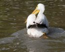 An injured lone American White Pelican that may have been caught in up fishing line earlier swims along the  shore in the Red River north of the St. Andrews Lock and Dam in Lockport.Mb.    Ashley Prest story Wayne Glowacki / Winnipeg Free Press August 28  2015