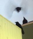 Ravens fight ...
