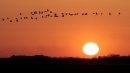 JOE.BRYKSA@FREEPRESS.MB.Ca Rosser, Manitoba- Canada geese fly in front of a beautiful prairie sunset just West of Rosse, Manitoba Saturday night-Apr 17, 2010- JOE BRYKSA/WINNIPEG FREE PRESS