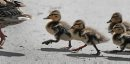 JOE.BRYKSA@FREEPRESS.MB.CA Local-(Standup photo)  -    Wait Up Mom- Young mallard ducklings try and catch up to mom on a path Friday afternoon at St Vital Park- July 23 , 2010, - JOE BRYKSA/WINNIPEG FREE PRESS