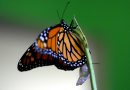 MIKE DEAL / WINNIPEG FREE PRESS 060711 Chris Pedersen breeds Monarch butterflies in his back yard in East Selkirk watching as it transforms from the Larva or caterpillar through the Chrysalis stage to an adult Monarch. Here an adult Monarch within an hour of it emerging from the Chrysalis which can be seen underneath it.