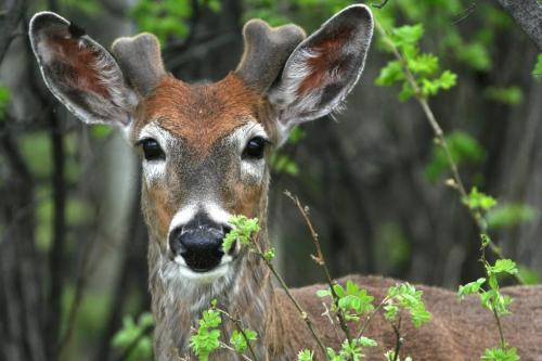 Marc Gallant / Winnipeg Free Press.  Local- (Standup Photo). Watcher in the woods. A young deer peers from the forest while eating leaves by Cricket Drive in Assiniboine Park. A group of eight deer were seen in the park. 060508.