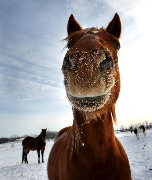 "Ruth Bonneville Winnipeg Free Press January 18, 2011 Local Standup - ""Ace"" a gelding thorough horse at SouthCreek Stables in Stl Norbert doesn't seem to mind the cold as he peers into the camera lens with a  frosty nose  Tuesday afternoon."
