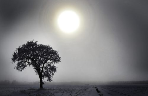 The sun peers through the fog to illuminate a tree covered in hoar frost near Headingley, Manitoba Thursday- Standup photo- February 02, 2012   (JOE BRYKSA / WINNIPEG FREE PRESS)