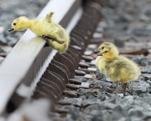 Challenges of Life- Goose Goslings jump over railway tracks to catch up to their parents at the Canadian Pacific Railway terminalon Keewatin St in Winnipeg Thursday morning. The young goslings seem to normally hatch in the truck yard a few weeks before others in town- Standup photo- ( Day 4 of Bryksa's 30 day goose project) - Apr 30, 2012   (JOE BRYKSA / WINNIPEG FREE PRESS)