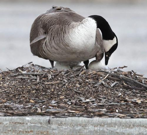 A mother goose has chosen a rather busy spot to nest her eggs- in the parking lot of St Vital Centre on a boulevard. Countless cars buzz by and people have begun to bring it food.-Goose Challenge Day 06 - May 08, 2012   (JOE BRYKSA / WINNIPEG FREE PRESS)