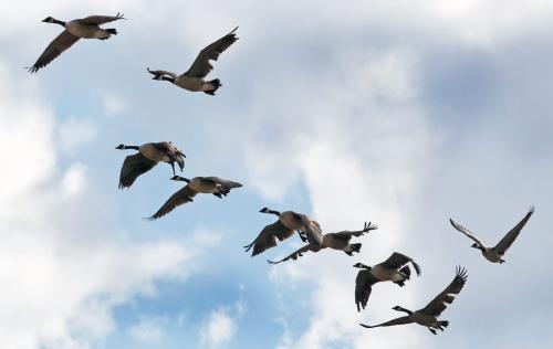 Geese fly in the morning light over Selkirk Ave Wednesday morning- Day 22– June 13, 2012   (JOE BRYKSA / WINNIPEG FREE PRESS)