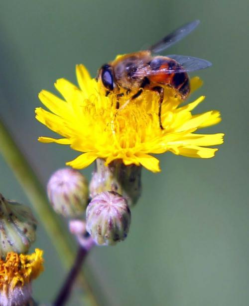 A bee of some sort enjoys a dandelion on North Main street.  August 9, 2012  BORIS MINKEVICH / WINNIPEG FREE PRESS