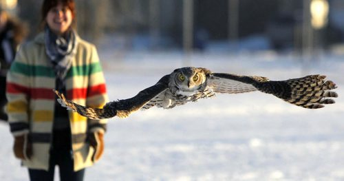 A Great Horned Owl that was caught up in some soccer nets in Shamrock Park in Southdale on November 16th was rehabilitated and returned to the the city park behind Shamrock School and released this afternoon. Sequence of the release. December 4, 2012  BORIS MINKEVICH / WINNIPEG FREE PRESS