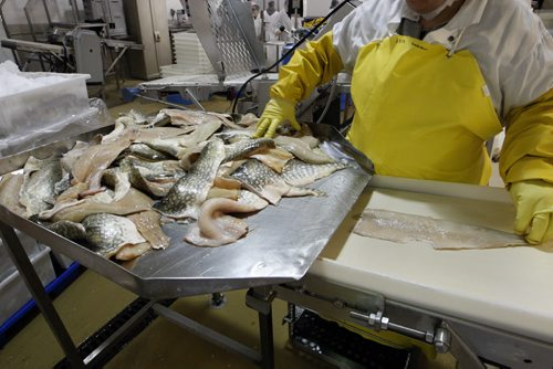 Norther Pike fillets -Freshwater Fish Marketing Corp. 1199 Plessis Rd.- the Winnipeg fish processing plant  receives fish from Manitoba commercial fishers  , processes and ships fish all over the world  - Bart Kives story - KEN GIGLIOTTI / April . 10 2013 / WINNIPEG FREE PRESS