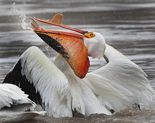 Down the Hatch- A pelican swallows a fresh fish that it caught on the Red River near Lockport, Manitoba. Wednesday morning- May 01, 2013   (JOE BRYKSA / WINNIPEG F