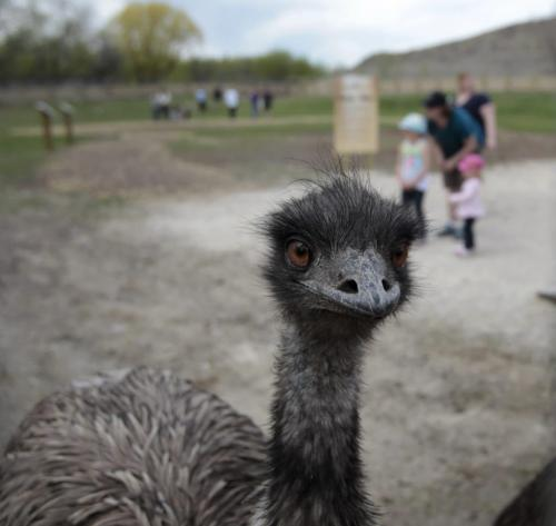 An Emu in the Assiniboine Park Zoo's newest permanent seasonal exhibit called the Australian Walkabout and features kangaroos and emus is now open to the public. Australian Walkabout features kangaroos and emus. with  story.  (WAYNE GLOWACKI/WINNIPEG FREE PRESS) Winnipeg Free Press May 24 2013