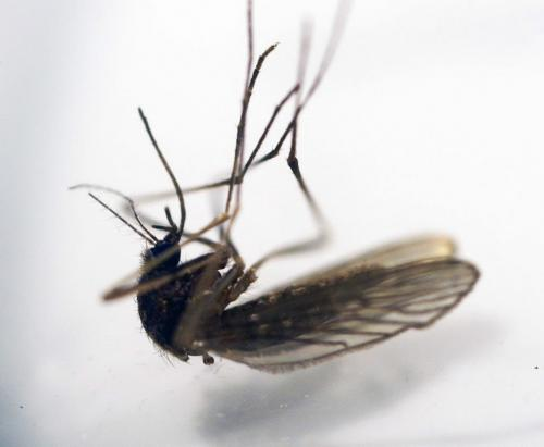 A sample of a mosquito trapped in Winnipeg-Winnipeg's entomologist Taz Stuart, nots pictured, reports that City of Winnipeg residents will see their first mosquitoes hatch in the next 7 days – See Kevin Rollason story- May 28, 2013   (JOE BRYKSA / WINNIPEG FREE PRESS)