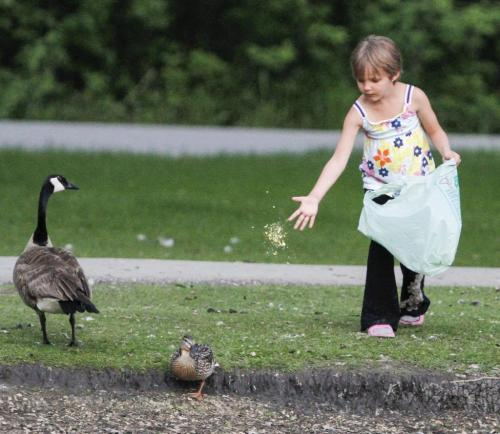 Four year old summer feeds the ducks and geese at the duck pond in St. Vital Park in Winnipeg at sunset on Thursday, June 6, 2013. (JESSICA BURTNICK/WINNIPEG FREE PRESS)