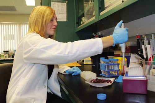 Canstar Community News Cara Isaak works with a tray of lingonberries. (JORDAN THOMPSON)
