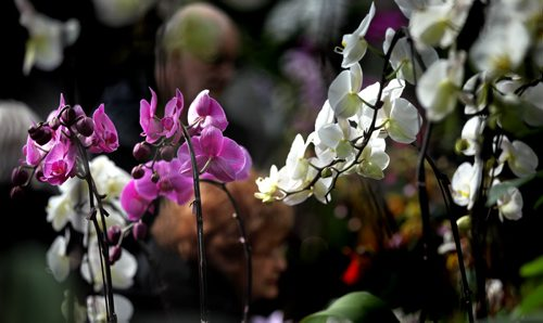Spring (sort of) Show.....orchids and spectators are out in full blom at the annual Manitoba Orchid Society's show on now through Sunday at the Assinaboine Park Conservatory.....not a bad spot to hang out on a below normal temperature weekend in WInnipeg. STAND UP March 21, 2014 - (Phil Hossack / Winnipeg Free Press)