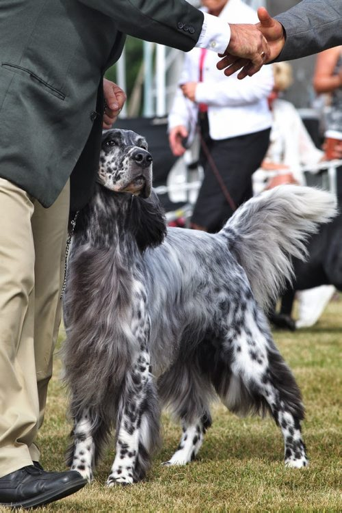 English Setter, Nick, 4, with handler, Will Alexander, during the Manitoba Canine Association Dog Show Sunday at the East St. Paul Community Centre. Nick is a Winnipegger and one of Canada's top showing English Setters. During this weekends show Nick has already won Best of Show on Thursday and Friday and just won Best Sporting Dog Sunday.  140817 August 17, 2014 Mike Deal / Winnipeg Free Press